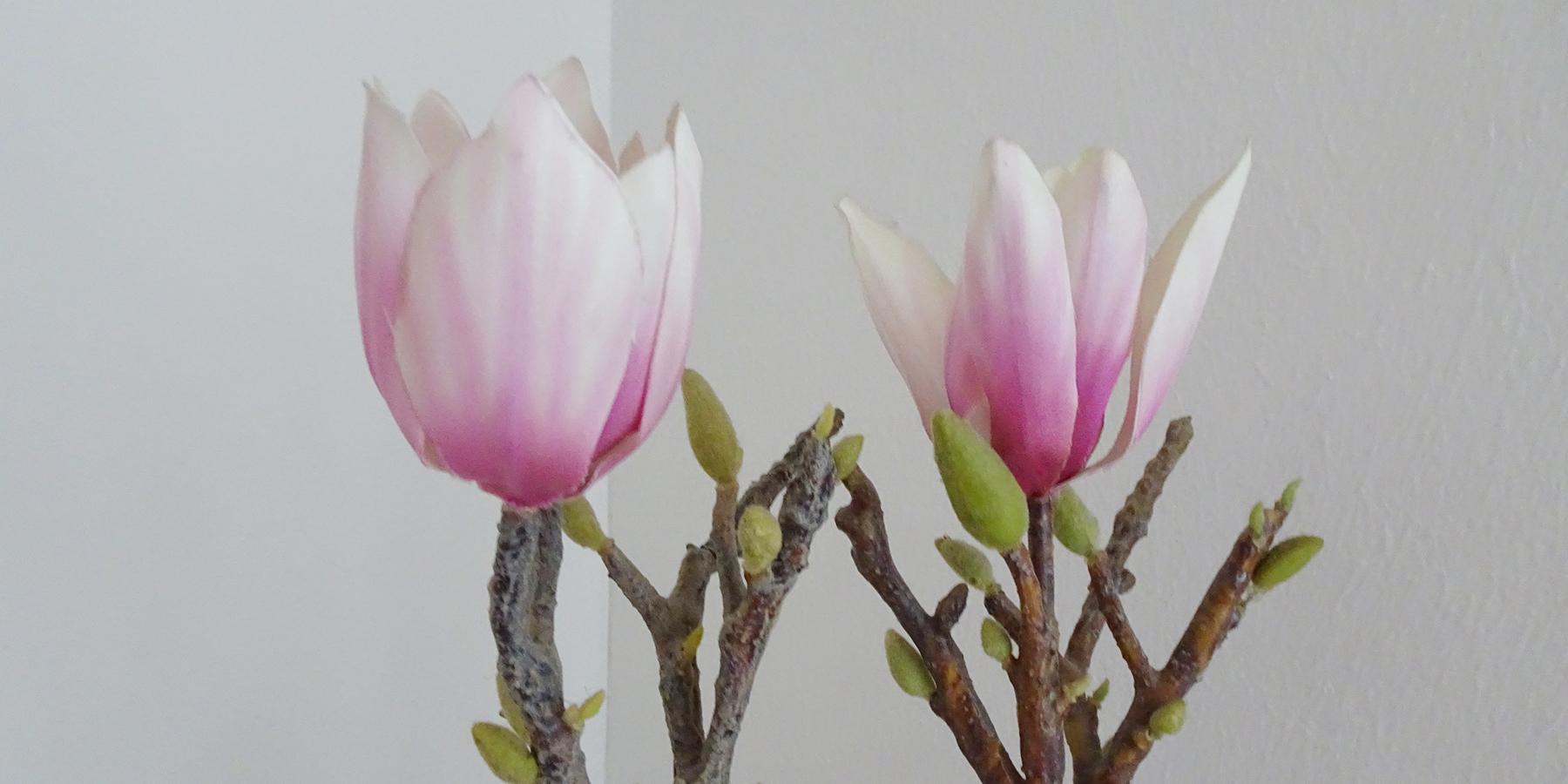 Magnolien in Praxis von Ulrike Klein